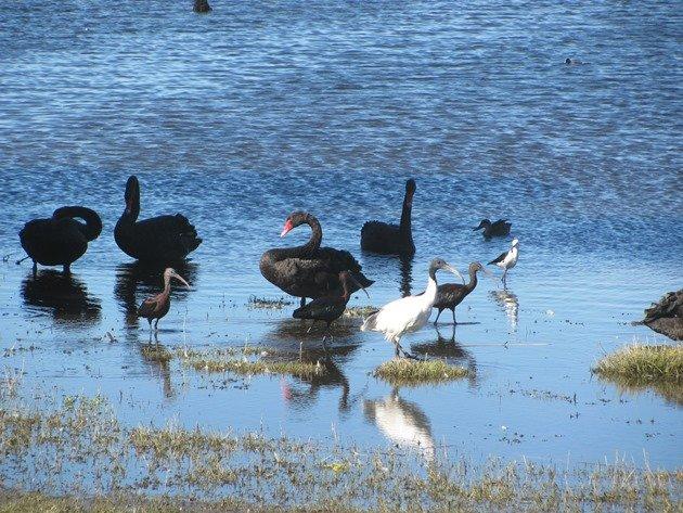 Swans, Ibis & Stilt