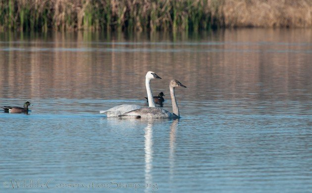 All Three Populations of North American Trumpeter Swans Are Increasing