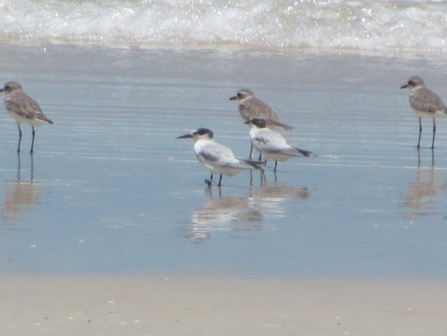 Taiwan flagged Little Tern-Australia (2)