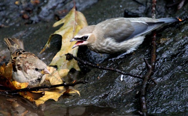 Cedar Waxwing begging for food from a House Sparrow