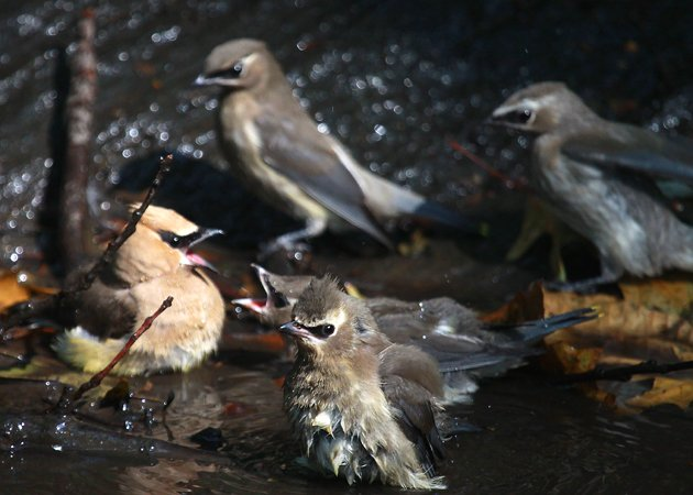 Cedar Waxwings at Tanner's Spring