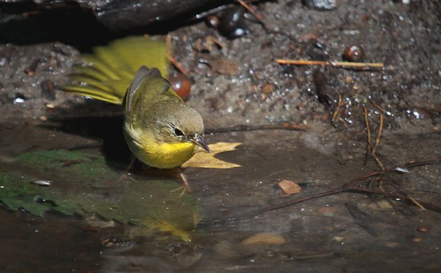 Common Yellowthroat at Tanner's Spring