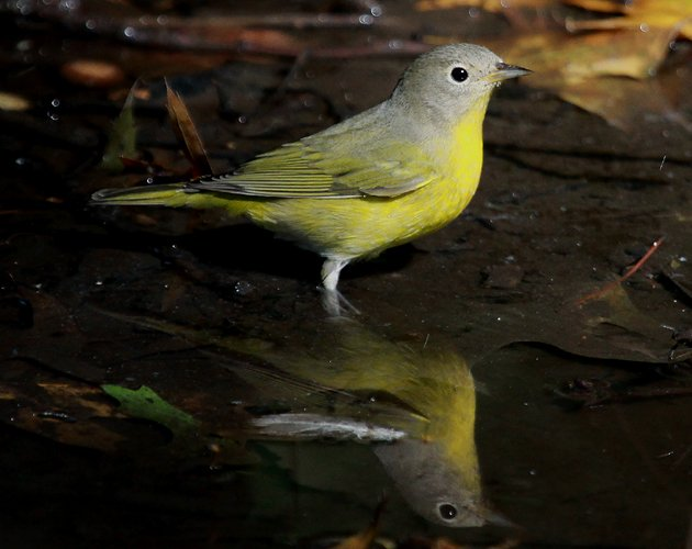 Nashville Warbler at Tanner Spring, Central Park