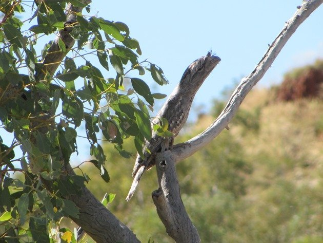Tawny Frogmouth (2)