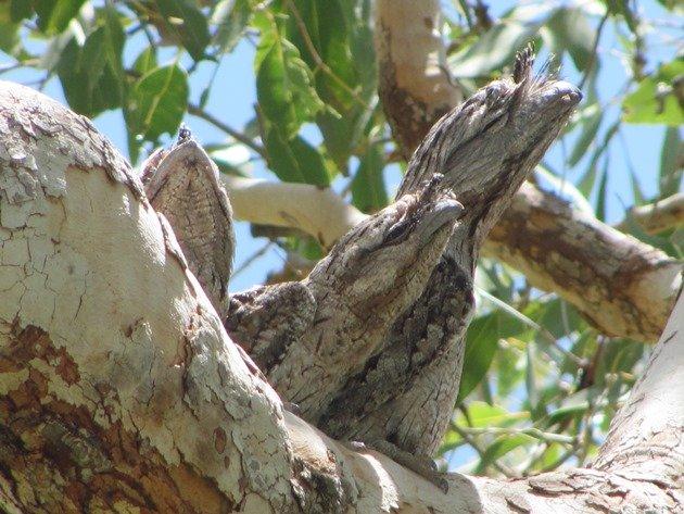 Tawny Frogmouth family (10)