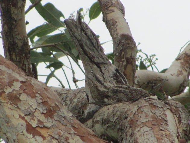 Tawny Frogmouth family (2)