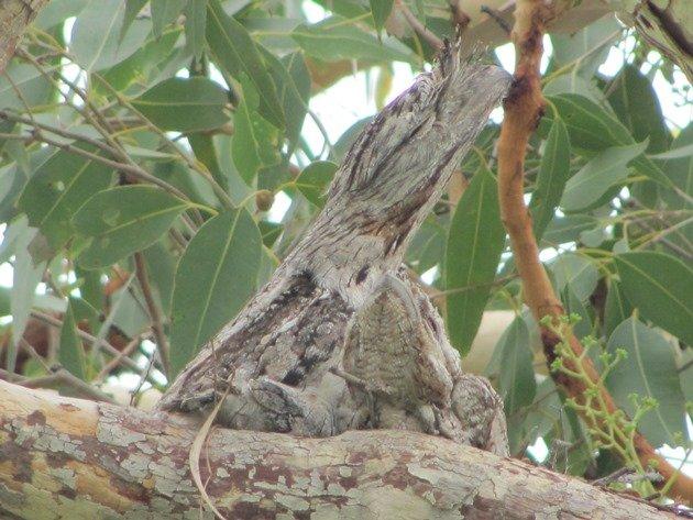 Tawny Frogmouth family (3)