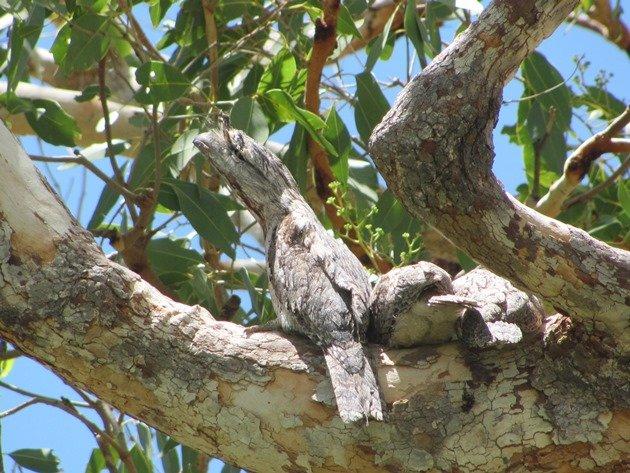 Tawny Frogmouth family (6)
