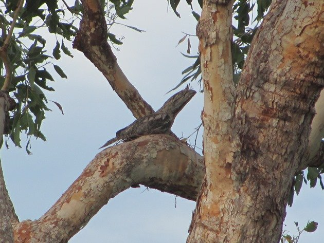 Tawny Frogmouth nest (3)