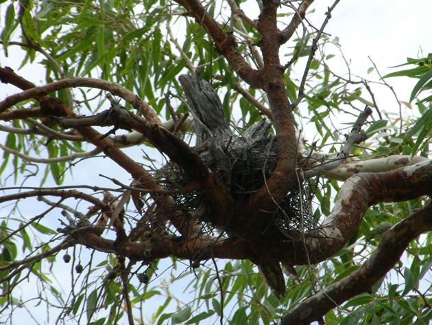 Tawny Frogmouth nest & chick (2)