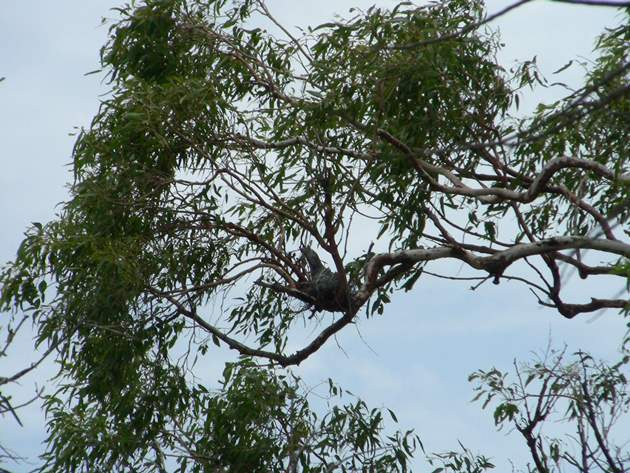 Tawny Frogmouth nest & chick