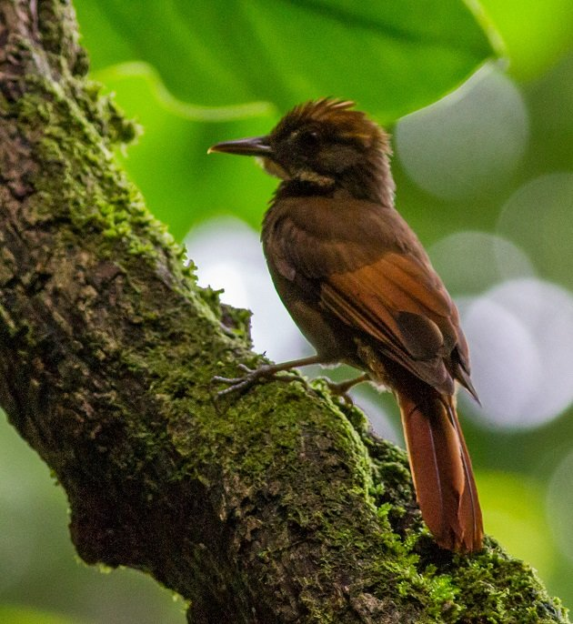 Tawny-winged Woodcreeper by Josh Beck
