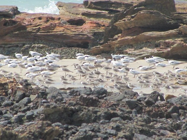 Terns and shorebirds roosting