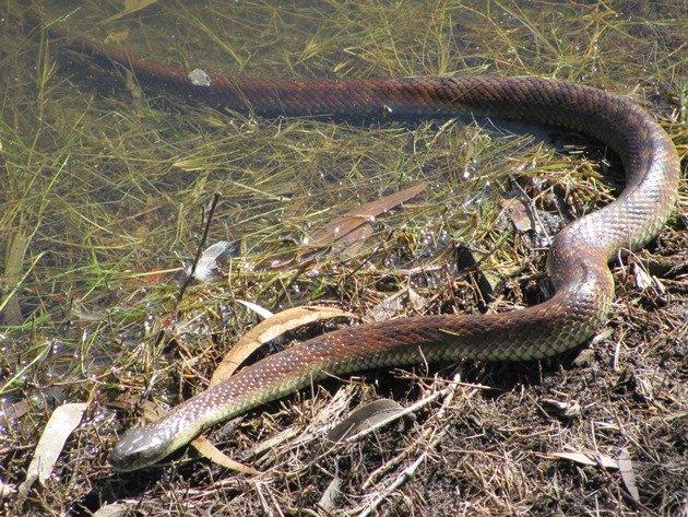 Tiger Snake (2)