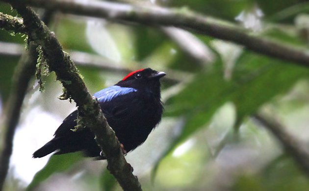 Blue-backed Manakin Chiroxiphia pareola