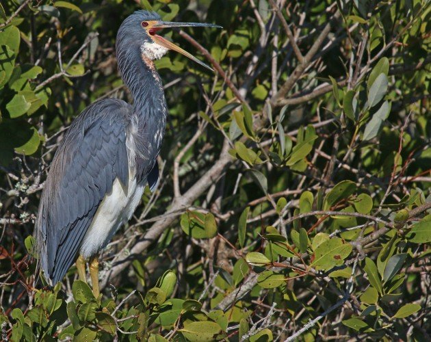 Tricolored Heron with mouth open