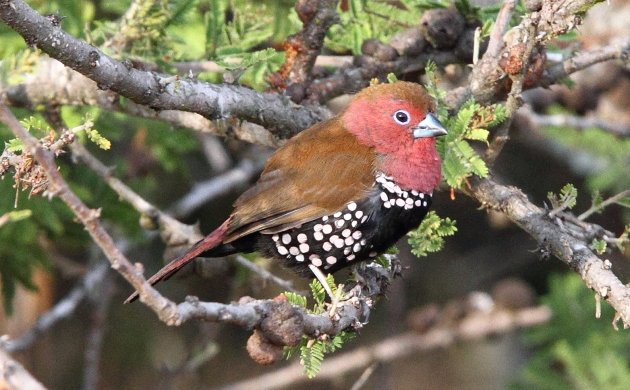Pink-throated Twinspot by Adam Riley
