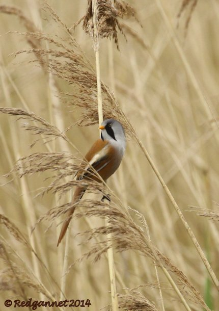 UK.KEN 02May14 Bearded Reedling 02