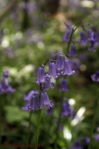 UK.KEN 09May14 Bluebell 07