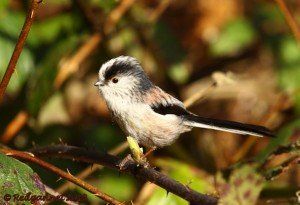 UK.KEN Long-tailed Tit 02