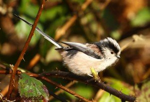 UK.KEN Long-tailed Tit 03