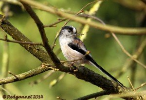 UK.KEN Long-tailed Tit 05