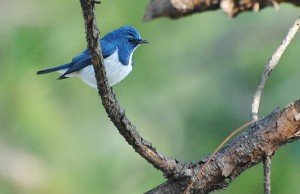 Ultramarine Flycatcher B
