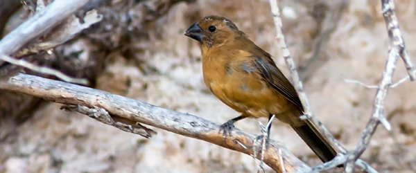 Ultramarine Grosbeak Female_007816