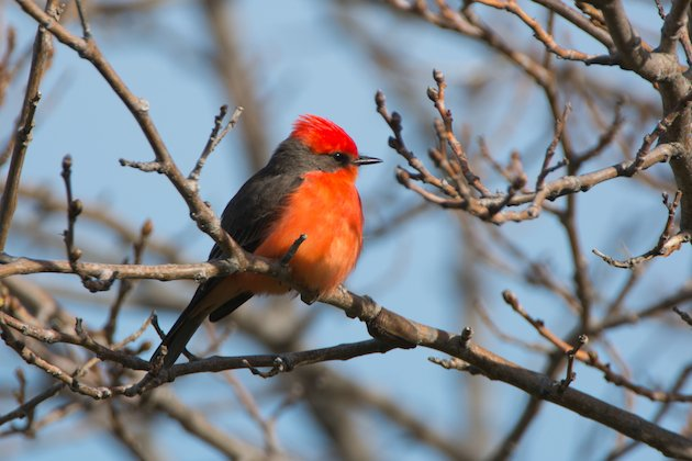 Vermilion Flycatcher Male