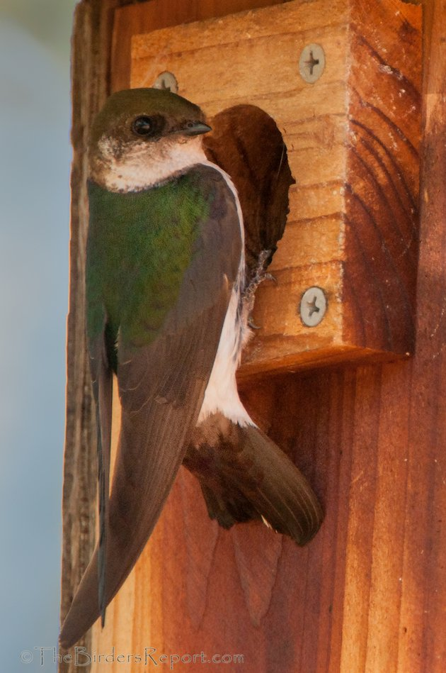 Violet-green Swallow Female