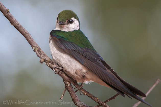 Violet-green Swallow Male