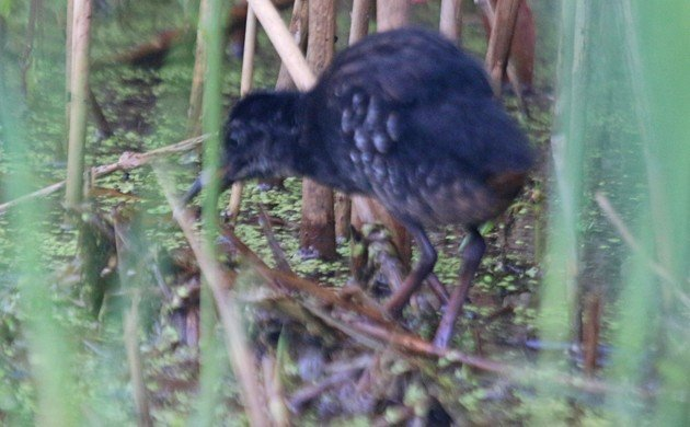 Virginia Rail juvenile
