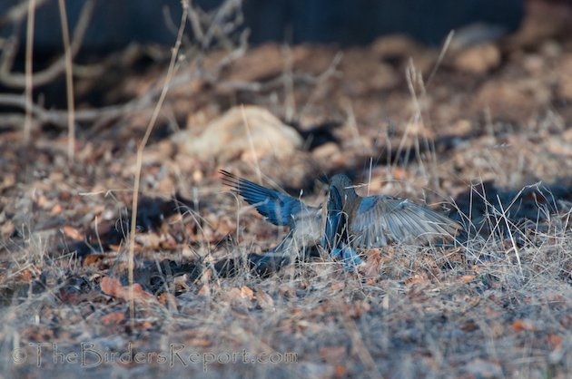 Western Bluebird Females Fighting