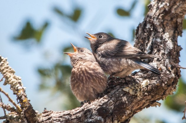 Western Bluebird Fledglings