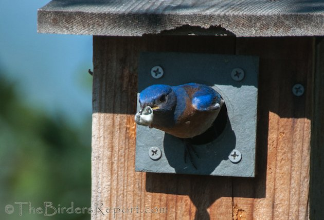 Western Bluebird Male with Fecal Sac