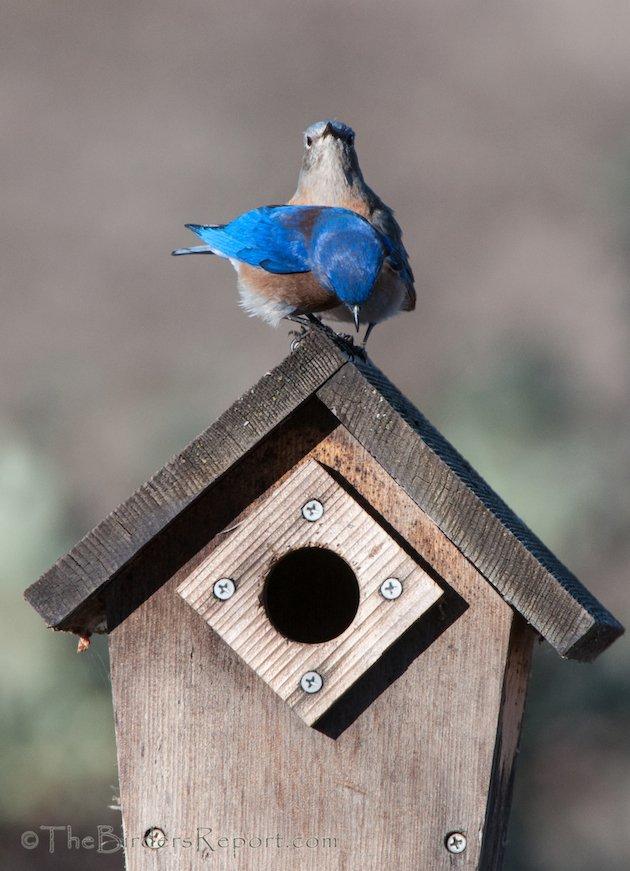 Western Bluebird Pair