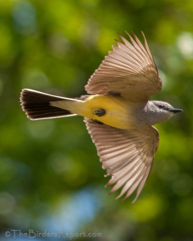 Western Kingbird In Flight