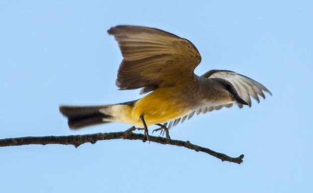 The Regal Western Kingbird Can Be Very Aggressive