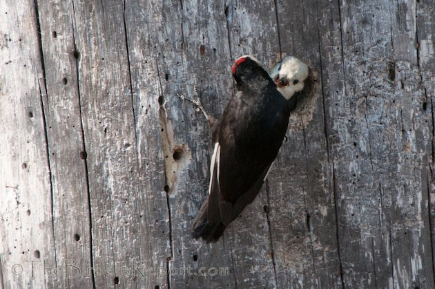 White-headed Woodpecker Male Feeding Nestling