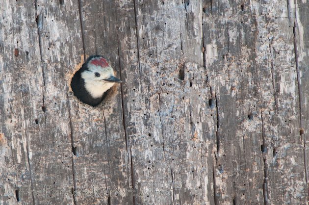 White-headed Woodpecker Nestling