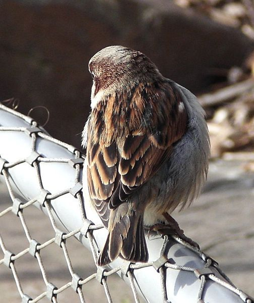 WM3_sparrow