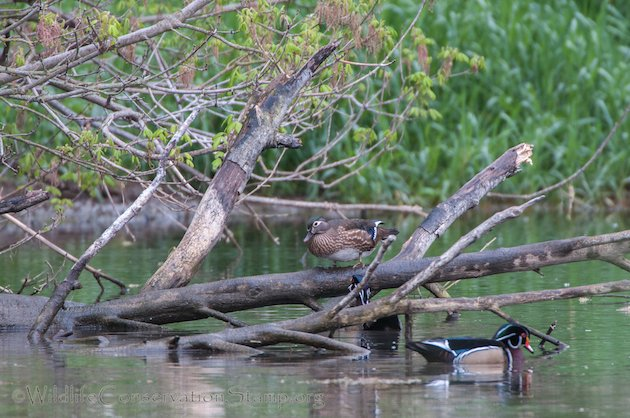Wood Duck Female on Log