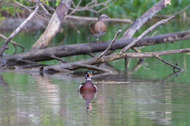 Wood Duck Pair in Common Habitat