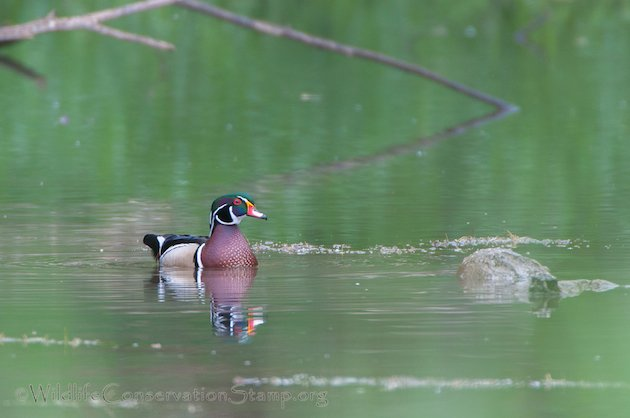 Wood Duck Male