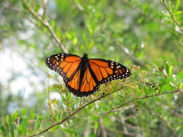 Wanderer Butterfly (2)