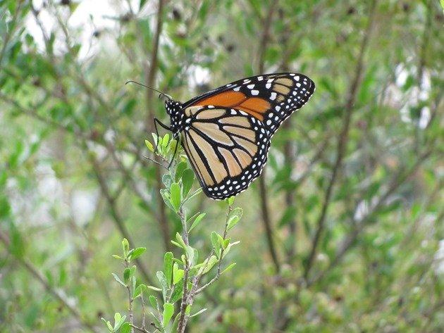 Wanderer Butterfly