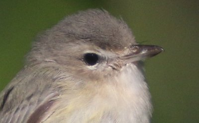 Warbling Vireo Head Shot