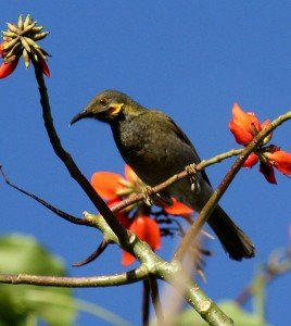 Northern Wattled_Honeyeater_taveuni_jun08