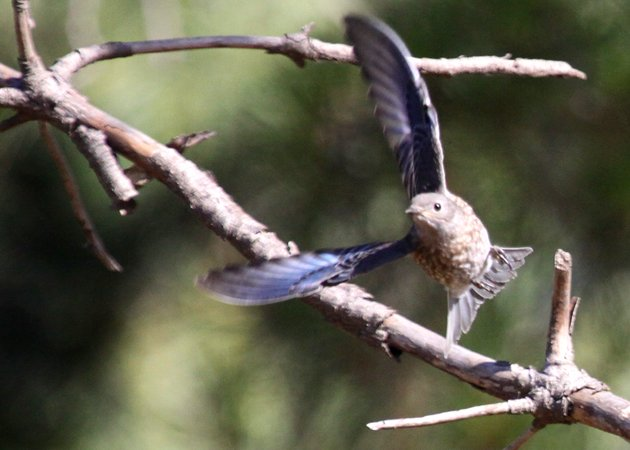 Western Bluebird juvenile taking off