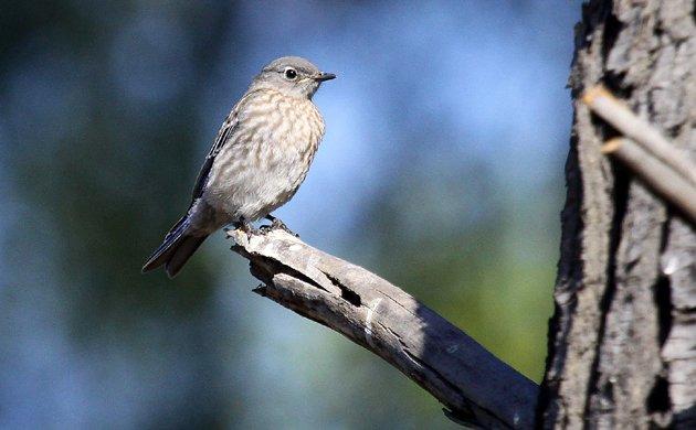 juvenile Western Bluebird